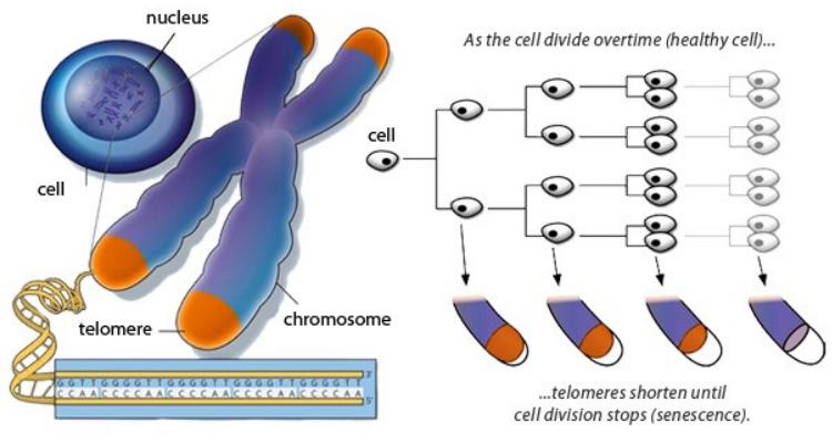 Crmomozomii si diviziunea celulară